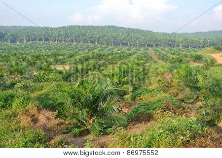 Palm oil trees in palm oil estate plantation