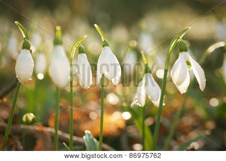 Snowdrop- Spring White Flower