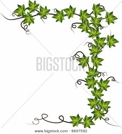 Green ivy . Vector illustration