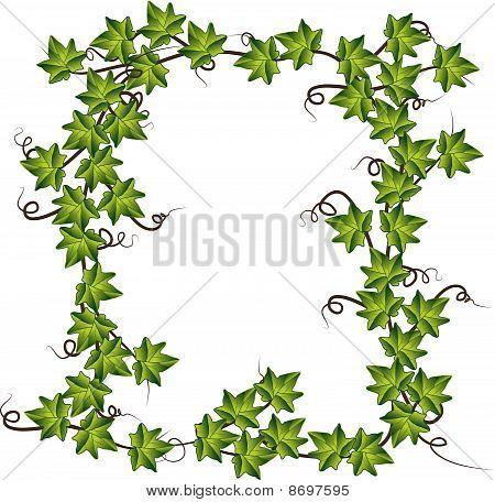 Green ivy . Vector illustration