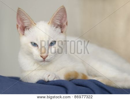 White Kitten Cute Face Closeup
