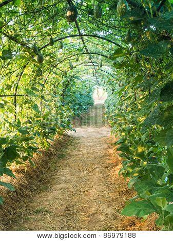 Green Tunnel Pergola