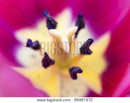 Tulip Heart