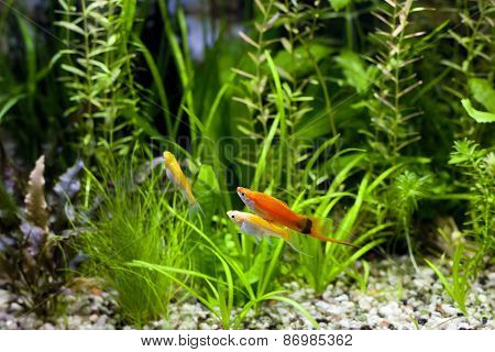 Cremecicle Lyretail Molly And Red Wag Swordtail