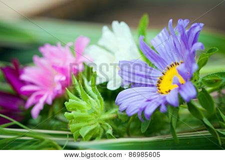 Close-up Of Bright Colorful Garden Chrizantenum Flowers