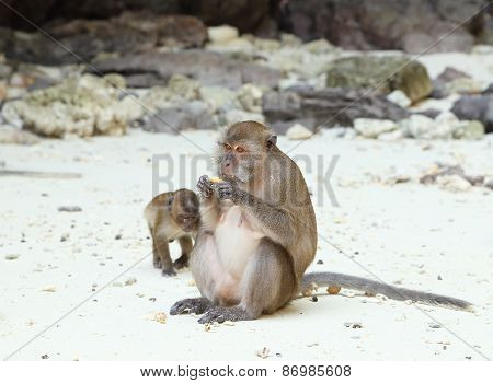 Monkey Beach. Crab-eating Macaque At Phi-phi Island