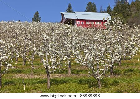 Apple Orchards In Hood River Oregon.