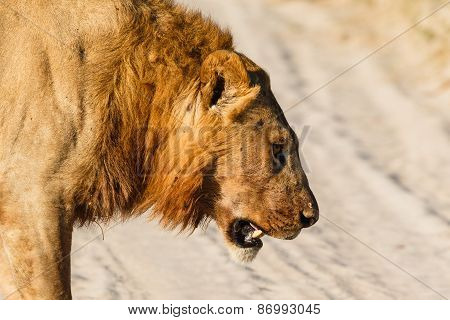 Male Lion Lost Battle