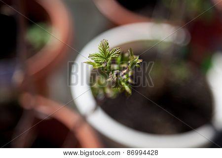 Raspberry Buds Shrub