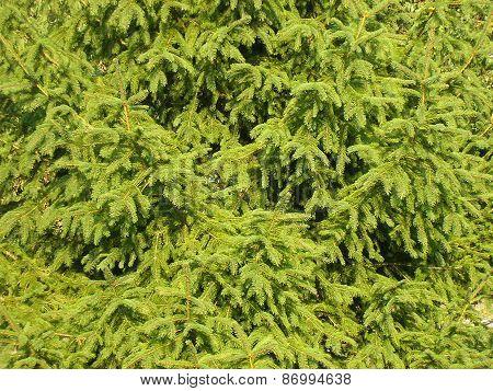 Fir-tree Needles. Background