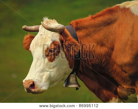 Hereford cow portrait and bell