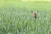 pic of deer  - Roe - JPG