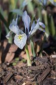 stock photo of dwarf  - Dwarf Iris Flower Katherine Hodgkin - JPG