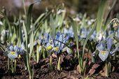 picture of dwarf  - Dwarf Iris Flower Katherine Hodgkin - JPG