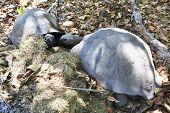 image of tortoise  - Aldabra giant tortoise in Seychelles - JPG