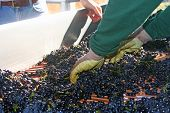 Sorting Pinot Noir Grapes