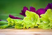 pic of gladiola  - Green and violet gladioli flowers on blurred background - JPG