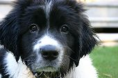 picture of newfoundland puppy  - george