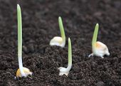 image of germination  - Close up of Corn germination on fertile soil - JPG