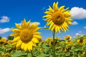 picture of heliotrope  - Close up of two big yellow sunflowers - JPG