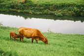 stock photo of calf cow  - cow and calf eating grass at riverside - JPG