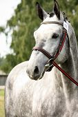 picture of girth  - Gray sport horse portrait at show arena competition