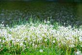 Постер, плакат: white dandelions