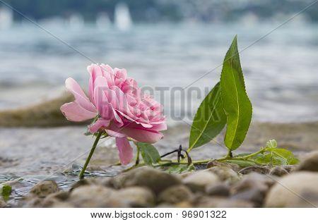 One Fresh Rose At The Lake Shore