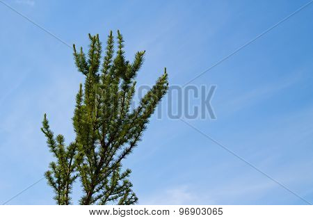 Green Coniferous Treetop With Blue Sky