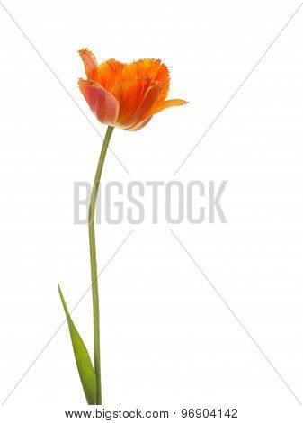 Tulip Flower On A White Background