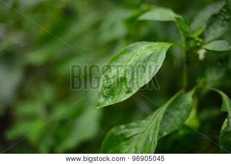 Young Zinnia's Plant   Green Leaves
