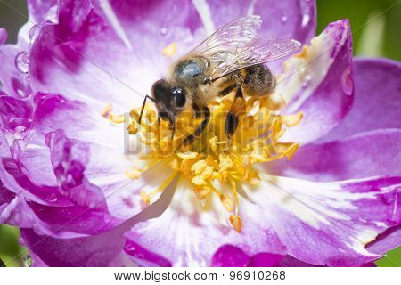 bee on wild rose