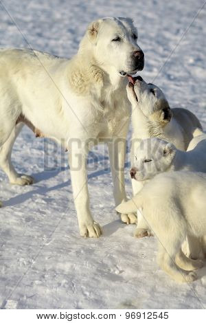 Mother Dog With Pups Of Alabai