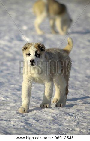 Cute Puppy Of Alabai