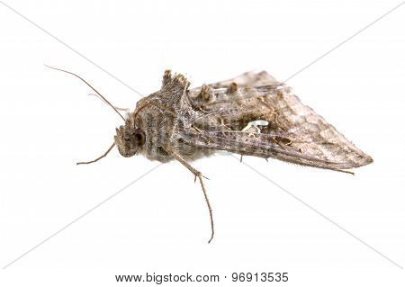 Brown Moth On A White Background