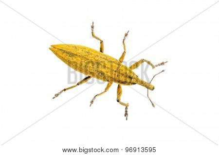 Yellow Bug On A White Background