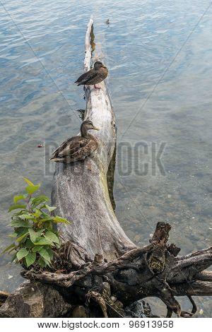 Two Ducks On A Fallen Tree 2