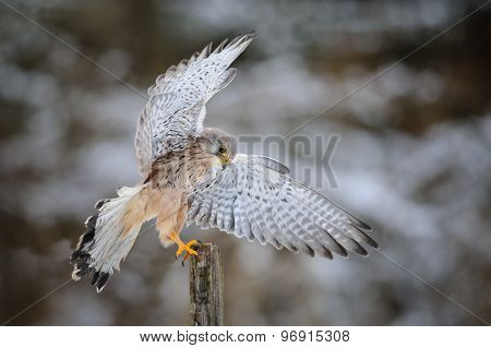 Landing Common Kestrel To Wooden Post In Forest