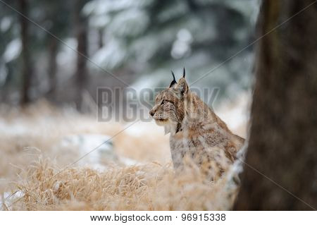 Eurasian Lynx Sitting On Ground In Winter Time On Yellow Grass