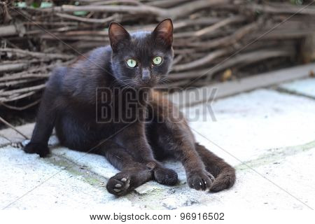 Distrustful black cat