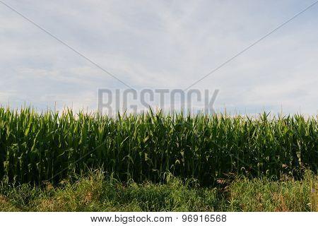 corn to sky