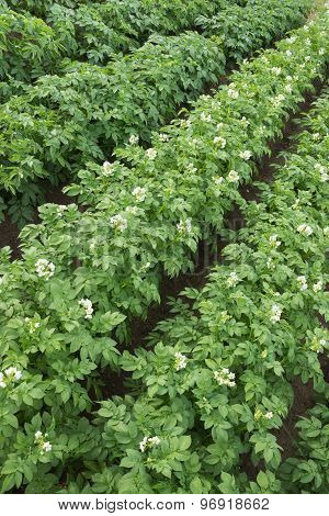 Flowering Potato In A Small Field