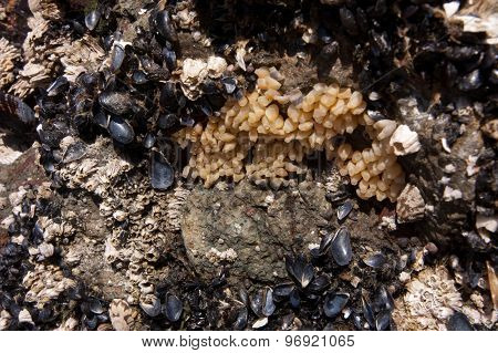 Close-up of tiny mussels and barnacles on rock
