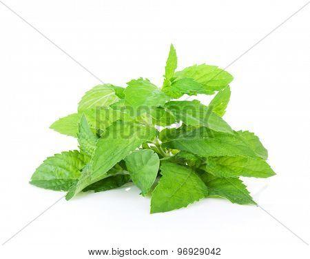 Fresh garden herbs. Mint. Isolated on white background