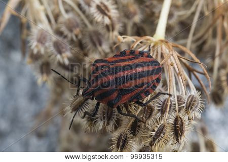 Red striped Graphosoma lineatum/Graphosoma semipunctatum on plant