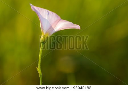 Close Up Of Wild Pink Bindweed Flower.