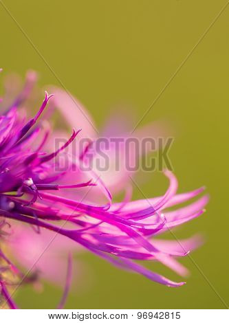 Beautiful Violet Thistle Flower Close Up