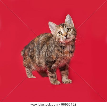 Tricolor Kitten Standing On Red