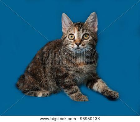 Tricolor Kitten Sitting On Blue