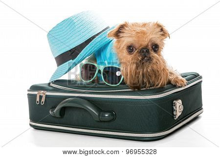 Dog Breed Brussels Griffon And A Travel Suitcase